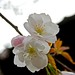 Double Flowered White by tez-guitar