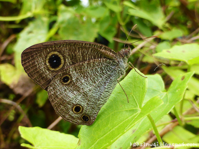 Santubong 10 Common Three Ring (Ypthima pandocus)