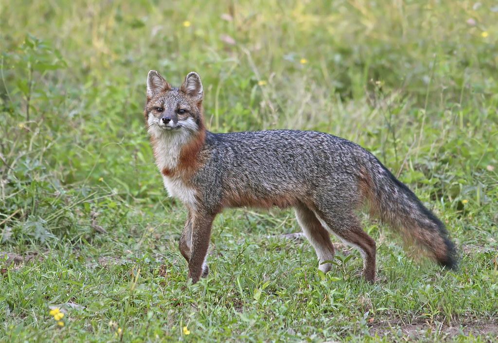 Gray Fox, lactating female