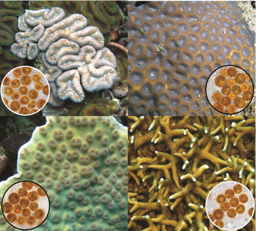 共生藻的種類很多,不同種類的珊瑚,也有著不同的共生藻。 圖片來源:Todd LaJeunesse, Penn State University