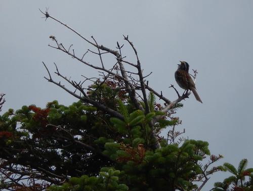 Cape Breton Highlands NP - singing bird