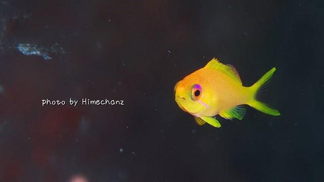 キンギョハナダイ幼魚♪