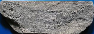 Palaeoniscum freieslebeni (fossil fish) (Upper Permian; Saxony, Germany)