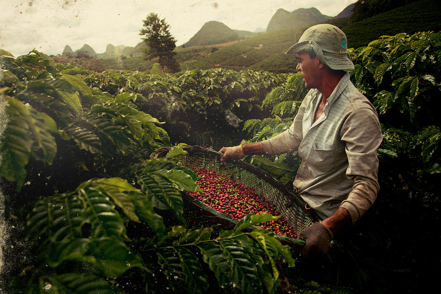 Znalezione obrazy dla zapytania плантация кофе