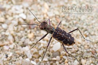 Tiger Beetle (Cicindelinae) - DSC_6320
