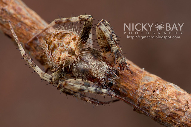 Orb Web Spider (Araneidae) - DSC_7329