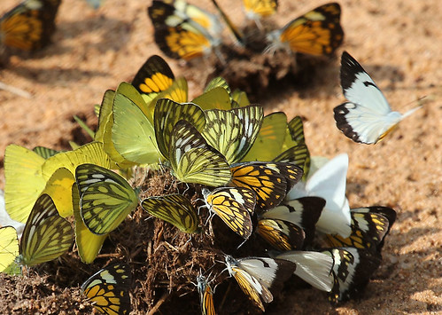 Butterflies galore! by Renuka Marshall