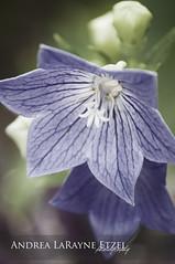 2013 Purple Flowers, Gage Park - Topeka, KS