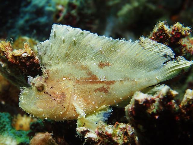 leaf scorpionfish - photo #5