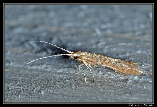 Coleophora sp. (Coleophora lutipennella/flavipennella)