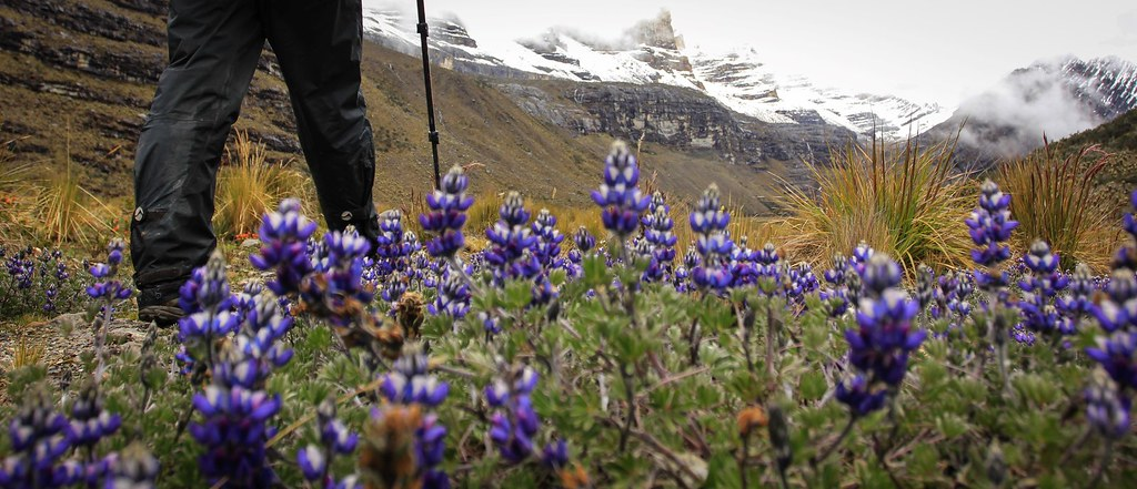 Lupines on the valley floor. Valle de los Cojines. PNN El Cocuy. Colombia.