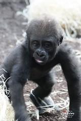 Ein Gorillakind wird selbständig