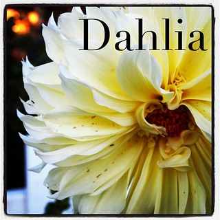Garden Alphabet: Dahlia