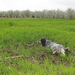 DORA DI VALTRESINARO - In ferma, su coppia di starne ai bordi del campo di grano.