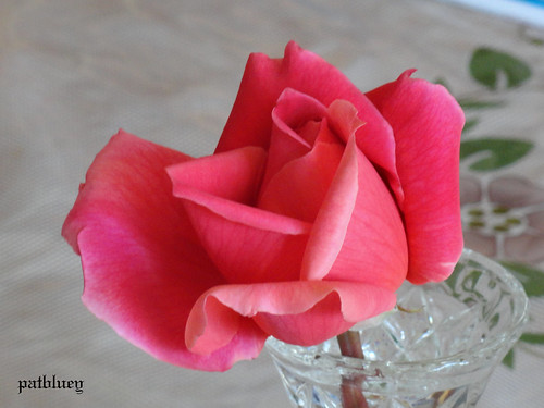 A lovely rose given to me by a friend.