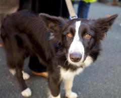 border collie, dog breed, animal, dog, pet, miniature australian shepherd, carnivoran, shetland sheepdog,