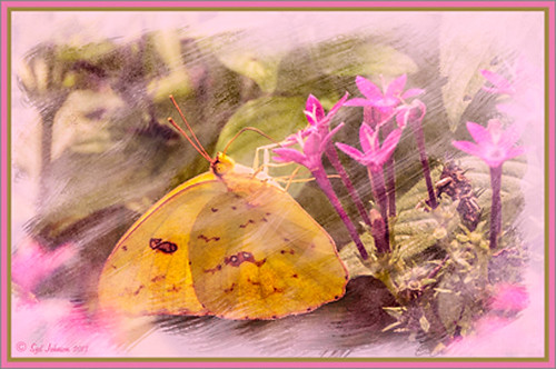 Image of a Yellow Butterfly in a Pink Penta with Dave Cross frame