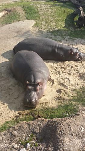 2013/10/07 - 12:32 - カバ Hippo
