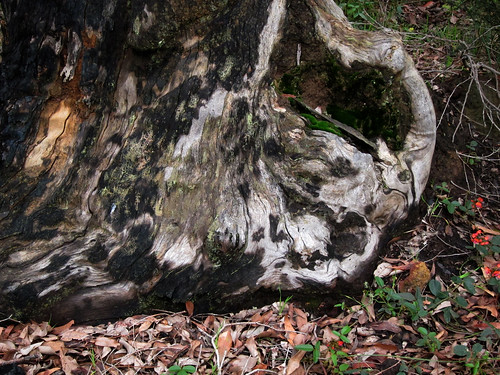 Tree Stump, Honeymoon Rd