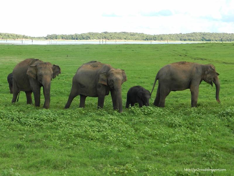 Слонихи готовы защищать слонят