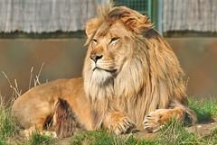 animal, mane, big cats, masai lion, lion, zoo, mammal, fauna, whiskers, safari, wildlife,