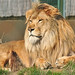 African Lion by John5199