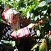 Akha farmers picking