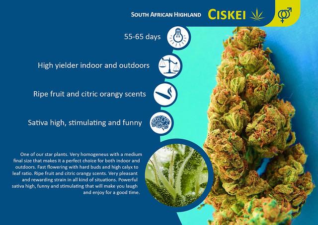 CISKEI, the Pleasant Sativa - Tropical Seeds Company Blog
