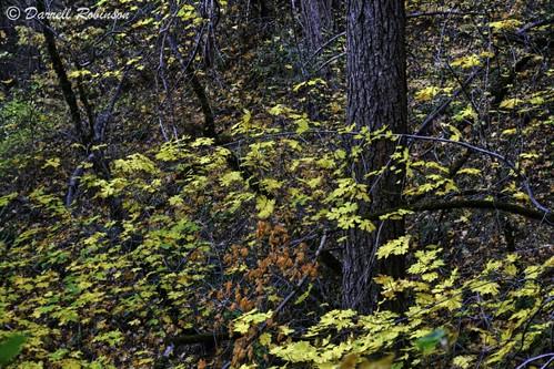 california autumn trees foothills green fall nature yellow forest canon maple hiking fallcolors trail adobe fir buckeye hoya douglasfir nevadacounty californiabuckeye sierranevadafoothills tahoenationalforest bigleafmaple canoneos50d roundmountaintrail lightroom3 southyubariverrecreationarea photomatixpro4 canonefs1585mmf3556isusmlens adobephotoshopcs5 adobebridgecs5 hoyanxthmcuvfilter