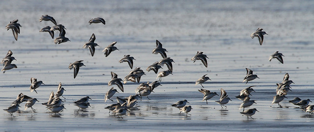 Sanderlings coming in to land...