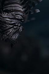 *Pterois lunulata