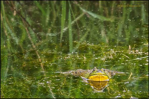 nature washington wildlife amphibian americanbullfrog ridgefieldnwr lithobatescatesbeianus sigma150500mm pentaxk5