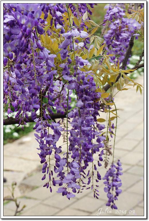 紫藤、老梅 (7)