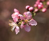 Photo:Japanese bush cherry / Prunus japonica / 庭梅(ニワウメ) By TANAKA Juuyoh (田中十洋)