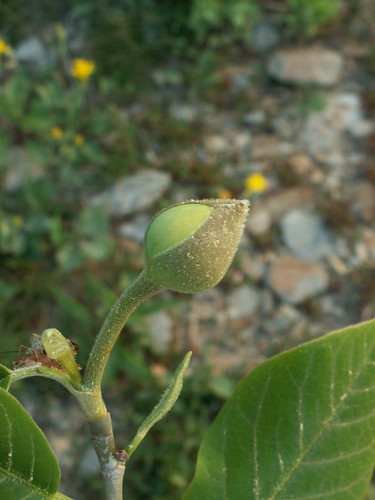 Magnolia sieboldii 'Colossus' - Détail