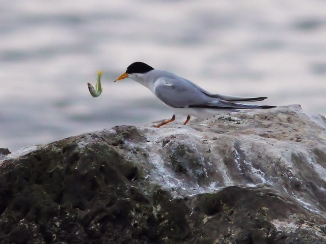 Least Tern feeding sequence 08-20140416