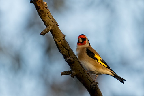 European Goldfinch 2014-05-27 (_MG_4566)