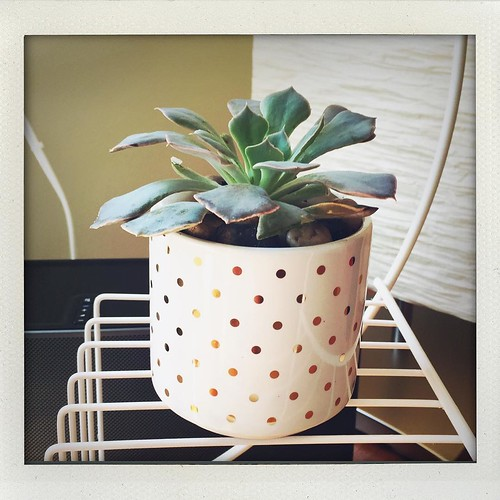 Sometimes, when my day is just not going like I want it to, a new succulent in a cute little pot with gold polkadots is all I need to cheer me up.