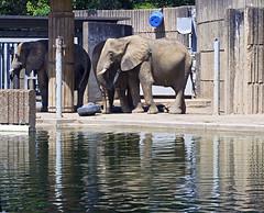 Memphis Zoo 08-31-2016 - Elephants 4