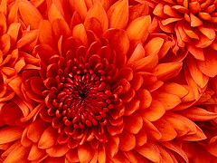 Thu, 2013-06-06 07:28 - Chrysanthemum
