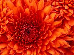 Thu, 2013-06-06 07:28 - Chrysanthemum