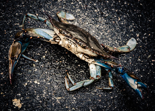 Blue Crab by kenfagerdotcom