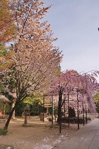 【写真】2013 桜 : 御香宮神社/2019-10-26/IMGP9745
