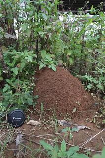 火蟻的高聳蟻巢。攝影:Brun Thonic