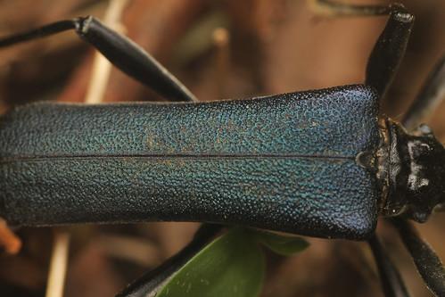 フタコブルリハナカミキリ