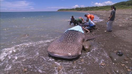 2號鯨鯊第二次擱淺,在陸地上長達3小時時間,學者研判早就被自己壓死了!(圖片來源:公共電視我們的島)