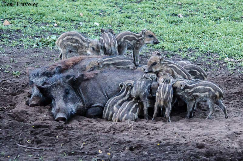 A Family of Wild Boar with piglets at Bandipur