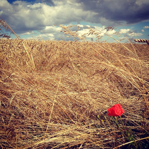 field barley clouds wind poppy uploaded:by=flickrmobile flickriosapp:filter=nofilter LFM:eventid=lfmhitchin2013 thewindthatshookthebarley