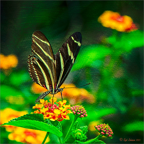Image of a Zebra Butterfly with a painterly effect applied