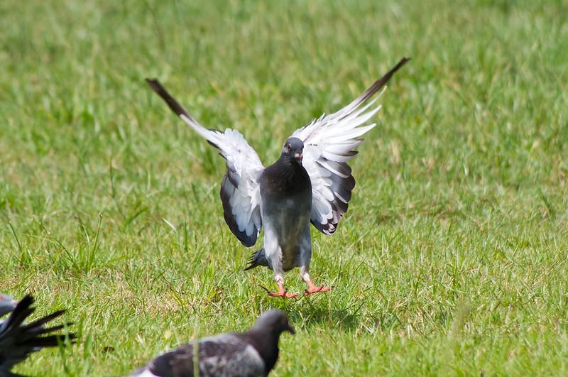 KIT之往天而降的鴿子